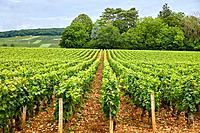 Pinot noir vineyards, Aloxe-Corton, Côte de Beaune, Côte d´Or, Burgundy Region, Bourgogne, France, Europe