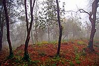 Fog in the forest, Girona province, Catalonia, Spain