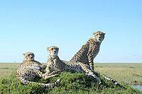 Three Cheetah (Acinonix jubatus) on hill in savanna, close up, Maasai Mara National Reserve, Kenya.