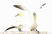 Northern Gannet (Morus bassanus) adult pair, displaying, standing on rock, Great Saltee, Saltee Islands, Ireland.