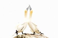 Northern Gannet (Morus bassanus) adult pair, displaying, standing on rock, Great Saltee, Saltee Islands, Ireland.