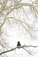 Common raven (Corvus corax) perched in tree during blizzard in winter, Yellowstone national park, Wyoming, Montana, USA.