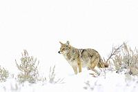 Coyote (Canis latrans) standing between sage bush in snow, Yellowstone National Park, Montana, Wyoming, USA.