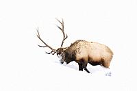 Elk (Cervus elaphus) bull, foraging and digging in winter snow, Yellowstone National Park, Montana, Wyoming, USA.