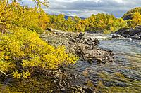 Autumn landscape with a creek surounded by yellow bich trees, Kiruna county, Swedish Lapland, Sweden.