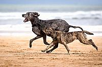 dogs on the beach, playing. Dogs in action.