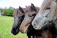 Portrait of three Icelandic horses standing besides eachother on their green meadow, Lennestadt, Siegerland, North-Rhein-Westphalia, Germany, Europe