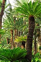 Palm trees at the Huerto del Cura, National artistic garden. Elche, Alicante, Spain.