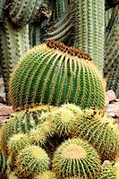 Golden barrel cactus, golden balls or mother-in-law's cushion (Echinocactus grusonii). Huerto del Cura National artistic garden. Elche, Alicante, Spai...