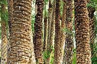 Date palm trees (Phoenix dactylifera) in the palm forest known as El Palmeral. Elche, Alicante, Spain.