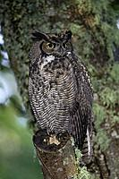 Great Horned Owl ( Bubo virginianus ) perched on tree limb in the coastal forest of British Columbia.