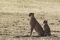 Cheetah (Acinonyx jubatus). Female with cub. Kalahari Desert, Kgalagadi Transfrontier Park, South Africa.