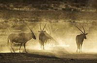 Gemsbok (Oryx gazella). Nervous and raising lots of dust in the early morning. Kalahari Desert, Kgalagadi Transfrontier Park, South Africa.