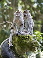 Long-tailed macaques (Macaca fascicularis) in the Sacred Monkey Forest Sanctuary. Ubud, Bali, Indonesia.