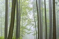 Beech forest on misty morning, Nature Park, Spessart, Bavaria, Germany, Europe.