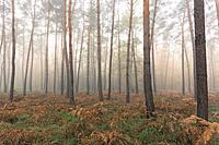Pine Forest on misty morning, Hesse, Germany, Europe.