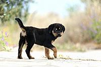 Side view of a Rottweiler puppy looking at camera.
