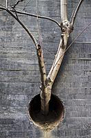 Fig tree plant growing out of concrete wall through drainpipe hole. Forge your way concept.