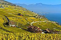 Lavaux vineyards in golden autumn foliage at Lake Geneva, Rivaz, Lavaux, Vaud, Switzerland.