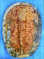 Trilobites.
