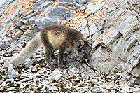 Arctic fox / white fox / polar fox / snow fox (Vulpes lagopus / Alopex lagopus) juvenile foraging in rocky terrain on the tundra in summer