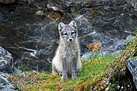 Arctic fox / white fox / polar fox / snow fox (Vulpes lagopus / Alopex lagopus) young foraging in rocky terrain on the tundra in summer