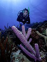 Caribbean Sea Los Roques, woman Scuba-Diver underwater photographer Tour, Underwater, Venezuela, Yellow Tube Sponge -Aplysina fistularis-
