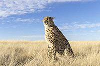 South Africa, Private reserve, Cheetah (Acinonyx jubatus), sitting, resting.