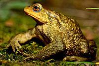 Common toad (Bufo spinosus) in the Lac de la Cavayere, Carcassone, France.