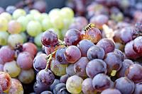 Callet grapes, Celler Mesquida-Mora, Porreres, Mallorca, Balearic islands, Spain.