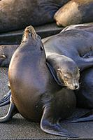 California sea lion (Zalophus californianus) Males lounging on a wharf, Newport, Oregon, USA.