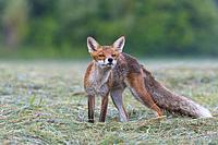 Red fox (Vulpes vulpes) on mowed meadow, Hesse, Germany, Europe.