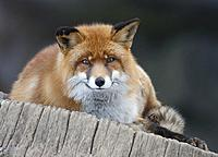 Red fox looking at camera, Sweden