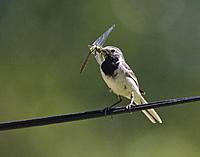 Wagtail with catch, Smaland, Sweden
