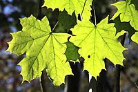 Canada, Quebec, Montreal, autumn leaves, maple leaf,.