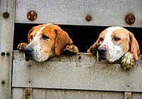 eager hunting hounds in transit. Scotland UK.