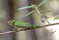 Short-nosed chameleon Calumma gastrotaenia, (Chameleonidae), endemic to Madagascar, Anjozorobe Nationalpark, Madagascar.