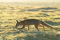 Red fox (Vulpes vulpes) on mowed meadow at sunrise, Hesse, Germany, Europe.
