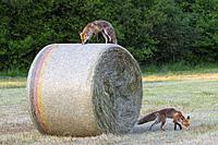 Red foxes (Vulpes vulpes), Summer, Hesse, Germany, Europe.