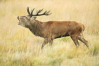 Red deer stag , Richmond park, London, England.