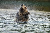 Grizzly bear (Ursus arctos)- Shaking water from fur in the Chilko River, Chilcotin Wilderness, BC Interior, Canada.