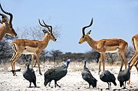 Male Impalas facing off at Onkolo Hide, Onguma Game Reserve, Namibia, Africa.