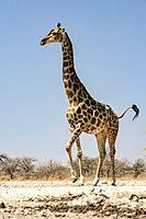 Giraffe at Onkolo Hide, Onguma Game Reserve, Namibia, Africa.
