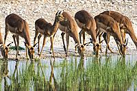Impala drinking at waterhole - Onguma Bush Camp, Onguma Game Reserve, Namibia, Africa.