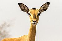 Female Impala on alert at Onkolo Hide, Onguma Game Reserve, Namibia, Africa.