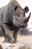 Black Rhino (Diceros bicornis) - eastern side of Etosha National Park, Namibia, Africa.