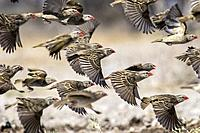 Flock of red-billed quelea (Quelea quelea) in flight [motion blur]- Onkolo Hide, Onguma Game Reserve, Namibia, Africa.