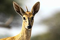 Common duiker (Sylvicapra grimmia) - Onkolo Hide, Onguma Game Reserve, Namibia, Africa.