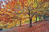 Autumn, Chesnut forest, Castanea sativa, Valle del Genal, Genal Valley, Genal river valley, Serranía de Ronda, Málaga province, Andalusia. Spain.