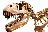 Tyrannosaurus Rex skeleton on white isolated background.